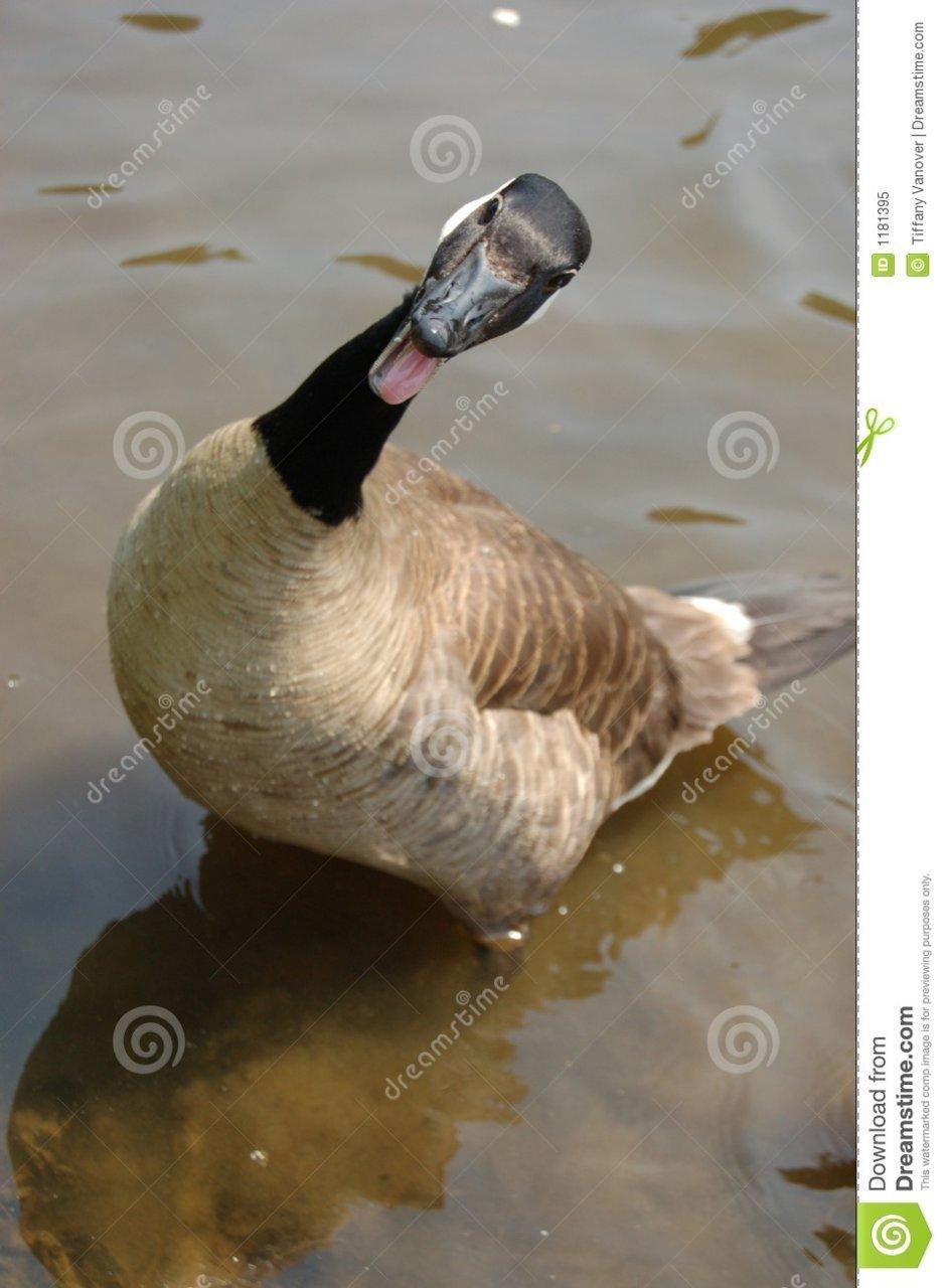funny-goose-1181395.jpg