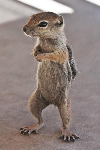 standing-squirrel-big.jpg